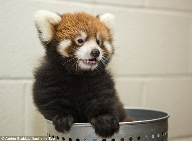 Red pandas often have high infant mortality rates which make it difficult for the species to rebound from population declines