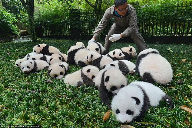 Panda tongues evolved to protect them from toxins, study suggests