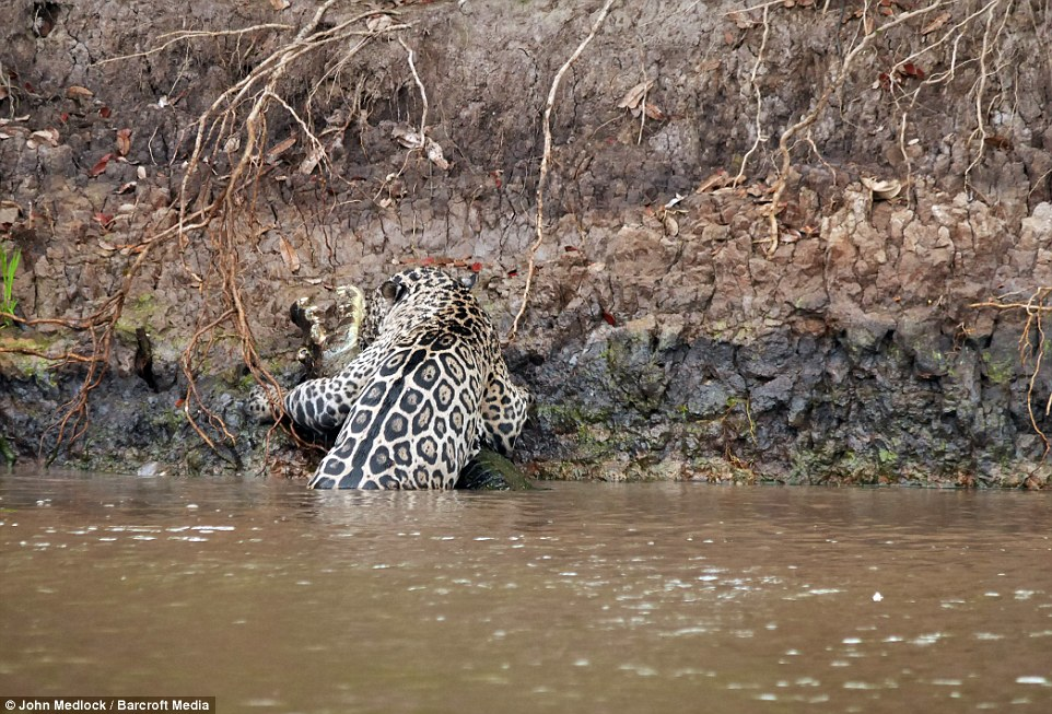 leen gillis 39 video shows a jaguar attacking a caiman in. Black Bedroom Furniture Sets. Home Design Ideas