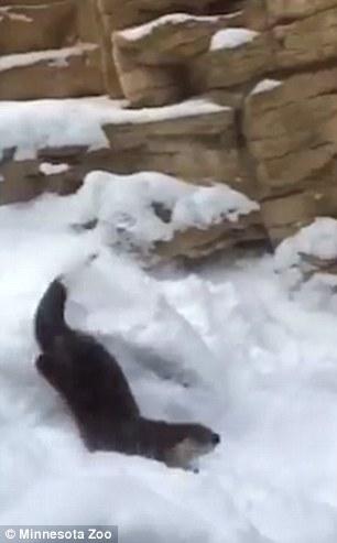Minnesota Zoo's Bobby the otter captured on video sliding ...