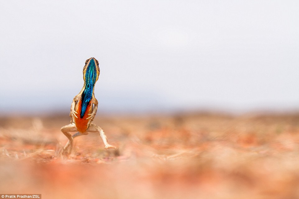 This image, titled Ready Set Go, was the Judges' Choice and Weird and Wonderful category winner. Photographer Pradhan said: 'It was not easy to maintain a sharp focus on the lizard running towards me while keeping it at eye level - it took me three years to capture this image the way I wanted. They have a thin flap of skin between their throat and their abdomen, which they can flap and flash at will - normally these are whitish  in colour but during the breeding season the males develop a wonderful colouration ranging from blue to black to red and orange'