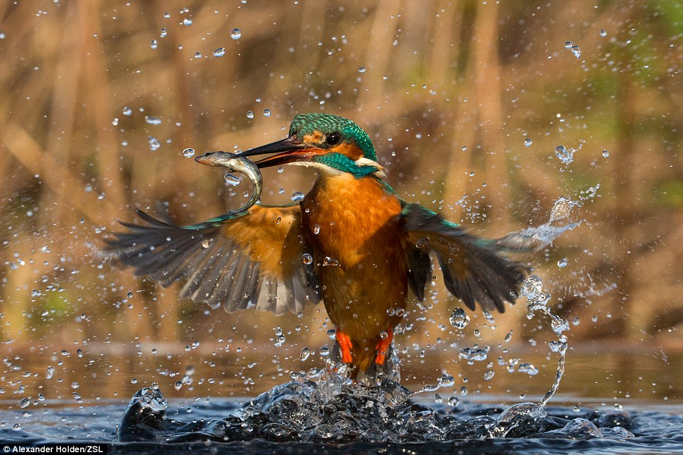 Catch me if you can category winner: Called Flash of Azure, this image of common kingfisher mid-hunt was taken in Leeds