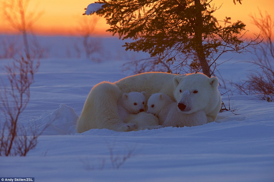 At home in the habitat category winner: A polar bear family snuggles in this photo titled A touch of Warmth, taken in Wapusk National Park, Manitoba, Canada