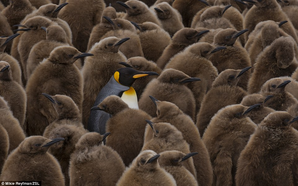 Weird and Wonderful runner up: This image, Kingpin, was captured in Salisbury Plain, South Georgia, sub-Antarctic