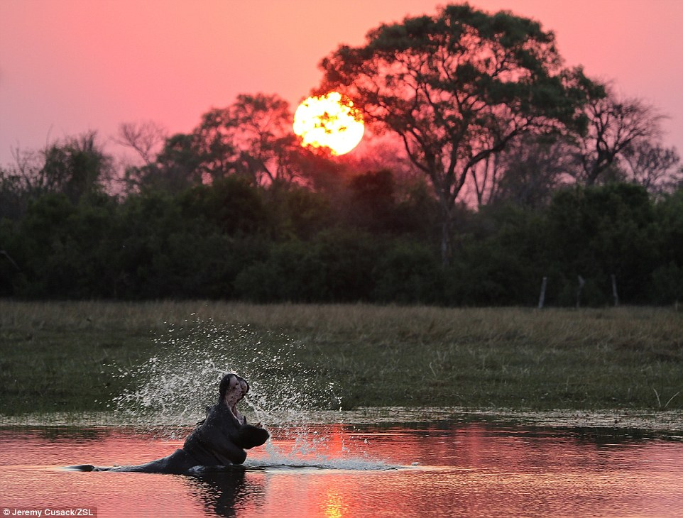 Catching the sun: A hippo roaring at the sky near Gunotsoga village, Okavango delta, Botswana, was highly commended