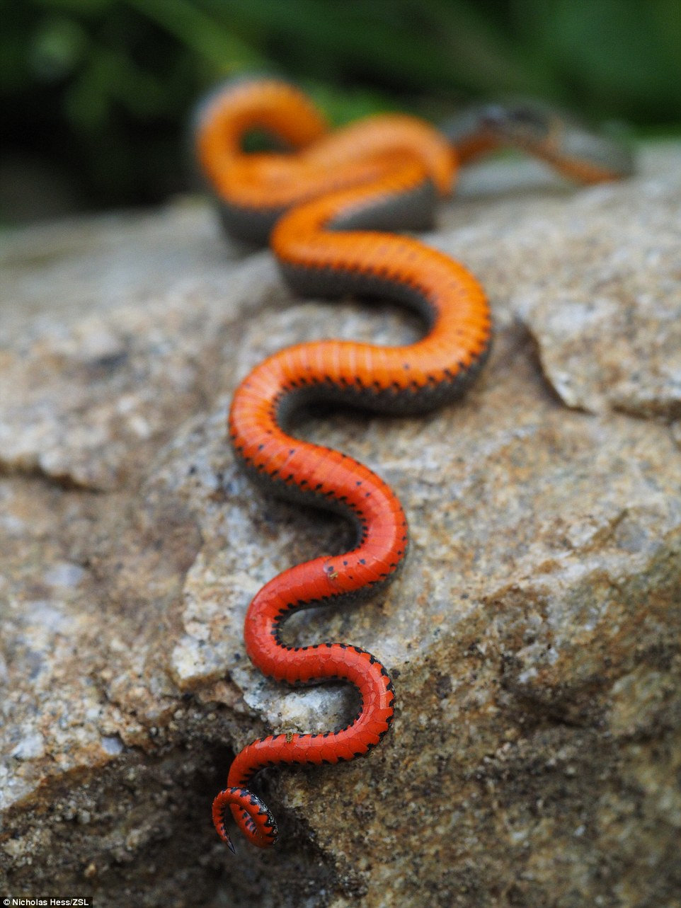 A young photographer in Verdugo Mountains, California, snapped this ring necked snake and named it Underside Madness. The shot was a runner-up
