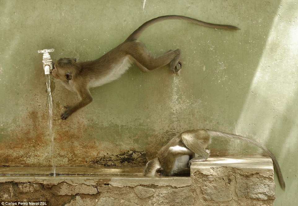 Strategies for drinking: Macaque in Polonnaruwa, Sri Lanka, quench their thirst in this award-winning shot