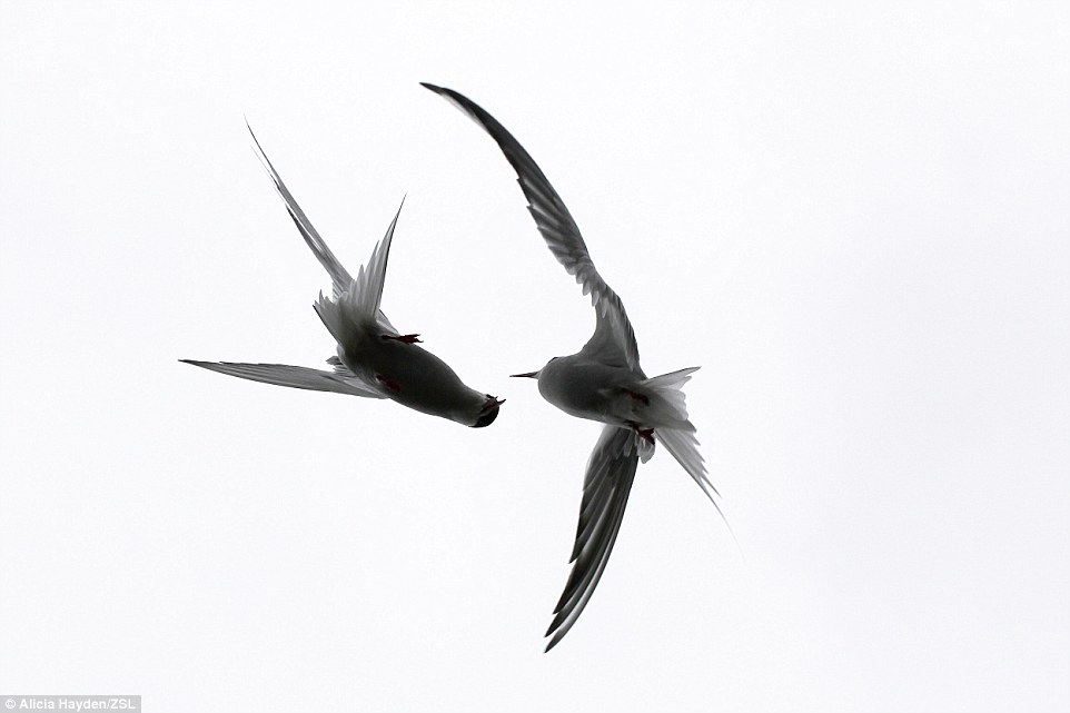 Judges' Choice and junior winner: Entitled In-flight Fight, this striking image was taken on the Isle of May, Scotland