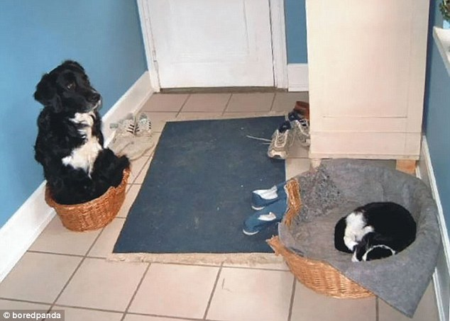 A cat has seized the opportunity for a bigger bed and left a dog, pictured on the left, to try and squeeze into a bed half the size