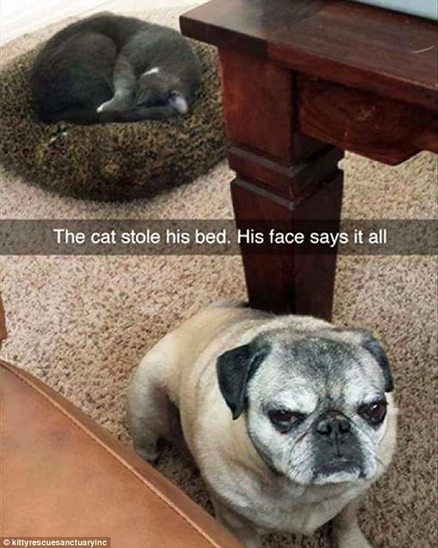 This angry pug dog is not happy at the cat being in their bed and his face 'says it all'