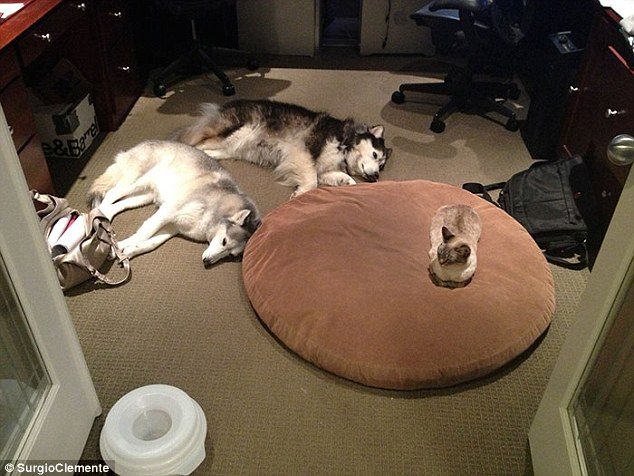 This cat has managed to not only over-rule one dog but two in their quest for a better nights sleep