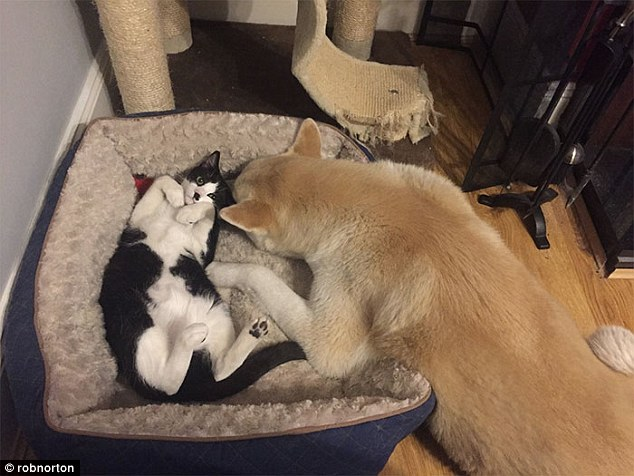 This cat might have taken the dog bed but the dog is showing he still has a bit of fight left in him