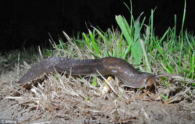 The common garden slug (arion distinctus) is not the most attractive animal and is the bane of gardeners' lives for its voracious appetite for flowers, fruit and vegetables