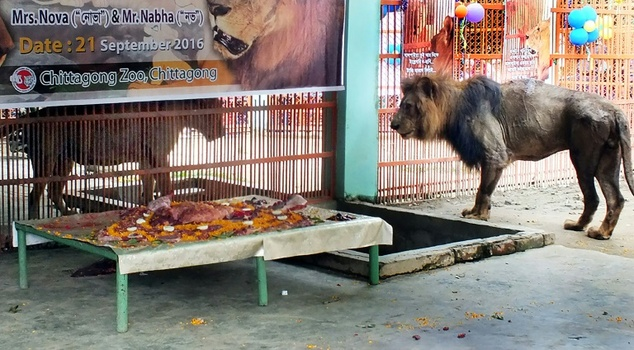 The newlywed lions Nabha (right) and Nova received a 10-kilogramme meat cake during their wedding at Chittagong zoo in Bangladesh