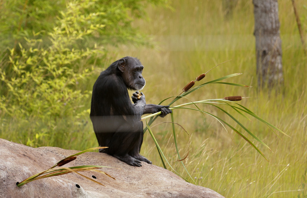 In this photo taken Aug. 8, 2016, Jody, a chimp who lives at Chimpanzee Sanctuary Northwest near Cle Elum, Wash., holds some plants as she sits in an outside...