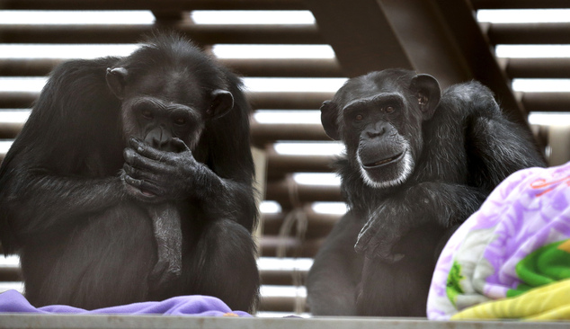 In this photo taken Aug. 8, 2016, Foxie, right, and Annie, left, two chimps who live at Chimpanzee Sanctuary Northwest near Cle Elum, Wash., sit on a platfor...