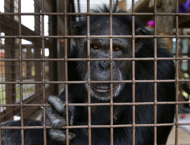 In this photo taken Aug. 8, 2016, Jamie, a chimp who lives at Chimpanzee Sanctuary Northwest near Cle Elum, Wash., looks through a window of an enclosure dur...