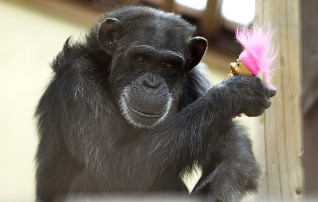 In this photo taken Aug. 8, 2016, Foxie, a chimp who lives at Chimpanzee Sanctuary Northwest near Cle Elum, Wash., holds a troll doll given to her as a prese...