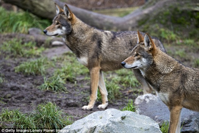 Former USFWS deputy chief of law enforcement Gary Mowad told the website: 'It turns out now the science clearly indicates red wolves from the very beginning were nothing more than a hybrid between a coyote and a grey wolf'