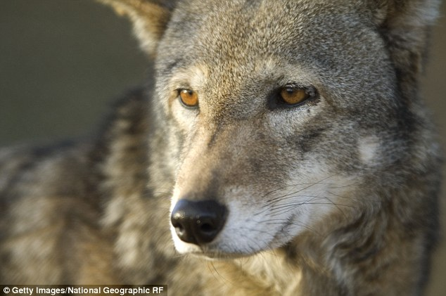 A debate is brewing over whether or not the red wolf is in fact a unique species and if it should be on the endangered species list