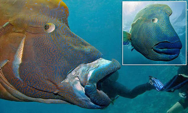 Scuba divers create optical illusion of being eaten alive by a giant Napoleon Wrasse