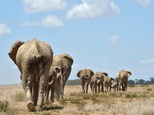 A report by the International Union for Conservation of Nature (IUCN) put Africa's total elephant population at around 415,000, a decline of around 111,000 over the past decade ©Tony Karumba (AFP/File)